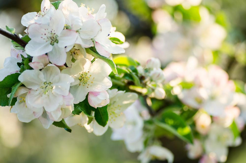 Apfelblüte_klein